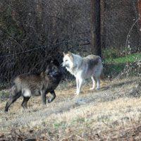 Περιστατικά εμφάνισης 4 λύκων μέσα στην πόλη της Φλώρινας το τελευταίο διάστημα