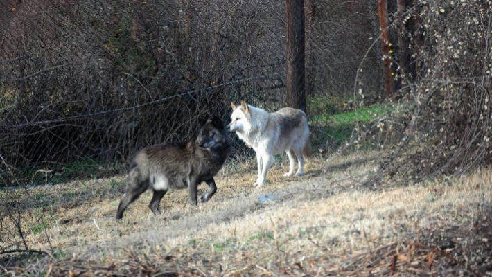 Νέα εμφάνιση λύκων στην Κοζάνη: Κατασπάραξαν σκύλο στην περιοχή της Παναγίας