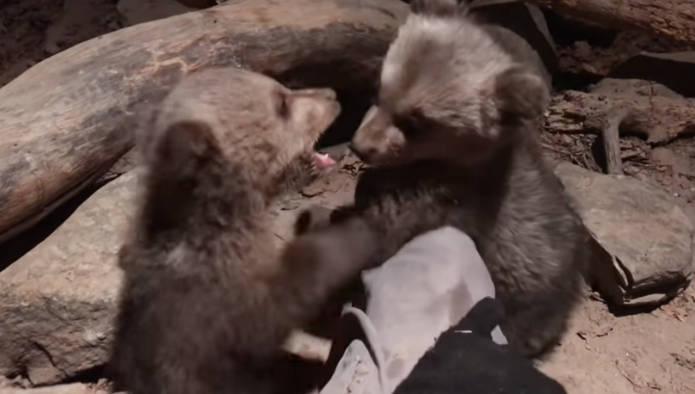 Δύο ορφανά αρκουδάκια βρέθηκαν σε στάνη στην Οινόη Κοζάνης – Δείτε βίντεο με τον Μπράντλεϊ και Κούπερ