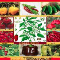 Ποικιλίες πιπεριάς καλλιεργούμενες στην Ελλάδα – Της Μάρθας Καπλάνογλου