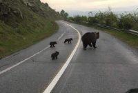 """""""Βιάσου έχουμε σχολείο"""": Η βόλτα της οικογένειας αρκούδων στη Φλώρινα που έγινε viral"""