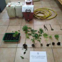 Συνελήφθη 48χρονος σε περιοχή του Αμυνταίου για καλλιέργεια δενδρυλλίων κάνναβης