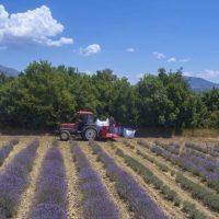 Θερισμός Λεβάντας – Lavender Harvesting στην Μικροκλεισούρα Γρεβενών – Δείτε το βίντεο