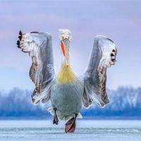 Η εκπληκτική φωτογραφία του πελεκάνου της λίμνης Κερκίνης που απέσπασε το πρώτο βραβείο σε παγκόσμια έκθεση