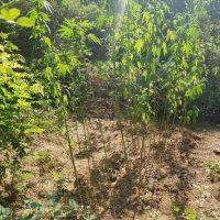 Συλλήψεις για καλλιέργεια 49 δενδρυλλίων κάνναβης σε περιοχές της Καστοριάς