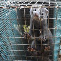 Πανελλήνια Ένωση Πτυχιούχων Τεχνολογικής Εκπαίδευσης Γεωτεχνικών: «Να τερματιστεί η εκτροφή ζώων για παραγωγή γούνας»