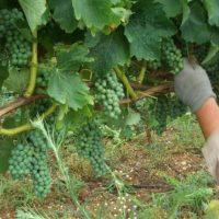 Σιάτιστα: Πρόλαβαν και τρύγησαν το αμπέλι πριν τον ιδιοκτήτη – Κλοπή σταφυλιών σε αμπέλι 5 στρεμμάτων