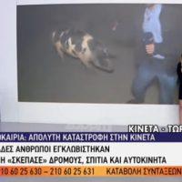 Απίστευτο περιστατικό στον αέρα της εκπομπής «Καλημέρα Ελλάδα»: Θηλυκό γουρούνι κυνηγά τον ρεπόρτερ και τον δαγκώνει!
