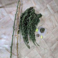 Συνελήφθη 64χρονος στα Γρεβενά με κλωνάρια, κορμούς και φούντα κάνναβης