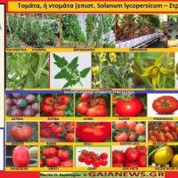 Η καλλιέργεια, οι ιδιότητες και τα οφέλη της ντομάτας – Της Γεωπόνου Μάρθας Καπλάνογλου