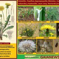 Γαλατσίδα: Φυτά από τους αγρούς και τις παλιές αυλές της Κοζάνης – Της Μάρθας Καπλάνογλου