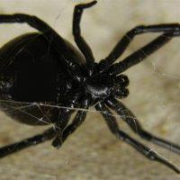 """""""Μαύρη χήρα"""": Κινδύνεψε η ζωή 36χρονου στο Αίγιο από το τσίμπημα της αράχνης"""