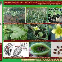 Φυτά από τους αγρούς και τις παλιές αυλές της Κοζάνης: Η πικραγγουριά – Της Μάρθας Καπλάνογλου