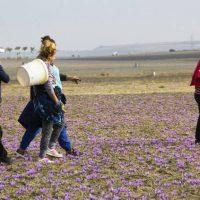 Βίντεο αφιέρωμα στον Κρόκο Κοζάνης: Το χρυσάφι της Ελληνικής γης μετατρέπεται σε καθημερινή ευεργετική συνήθεια