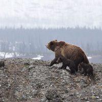Επίθεση αρκούδας στον Αυγερινό Κοζάνης – Τι αναφέρει ο κυνηγός που δέχτηκε την επίθεση