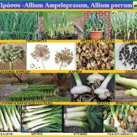 Το πράσο και η καλλιέργειά του στην Κοζάνη – Γράφει η Τ. Γεωπόνος Μάρθα Στ. Καπλάνογλου