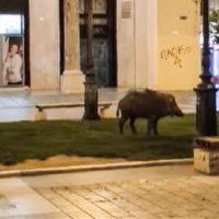 Βίντεο: Αγριογούρουνο κάνει βόλτα στο κέντρο της Θεσσαλονίκης στην πλατεία Αριστοτέλους