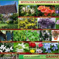 Φυτά για αναρρίχηση και πέργολες – Της Γεωπόνου Μάρθας Καπλάνογλου