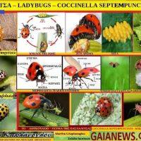 Το σαρκοβόρο έντομο πασχαλίτσα ή λαμπρίτσα – Γράφει η Μάρθα Στ. Καπλάνογλου, Γεωπόνος Τεχνολόγος